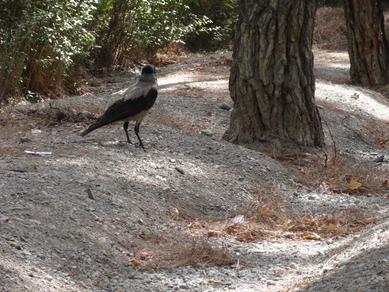 Crow in Laleh Park